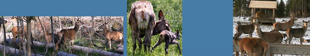 griseproduksjon-hjorteoppdrett-kjottproduksjon