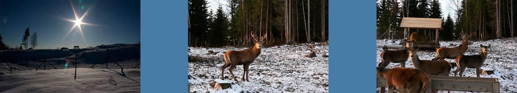 Henning Kumle pleier kulturlandskapet med hjorteavl