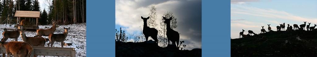 hjortekjott-hjorteoppdrett-hjort