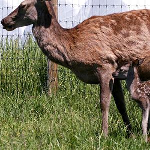 Magert hjortkjøtt fra hjortoppdrettet til Henning Kumle